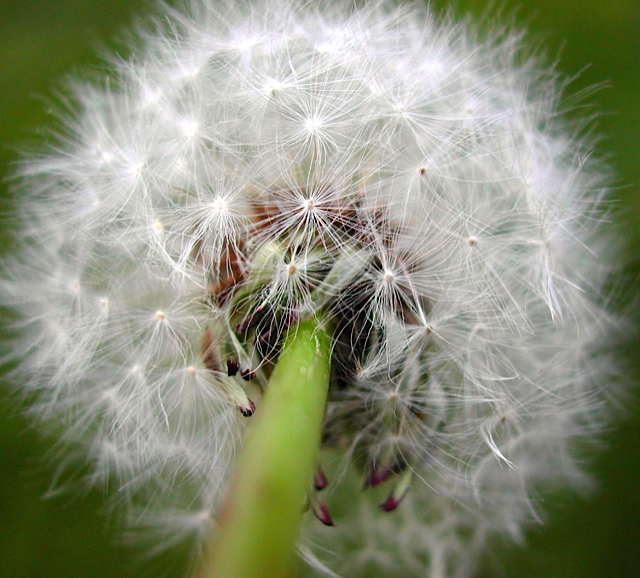 connected lesson dandelion
