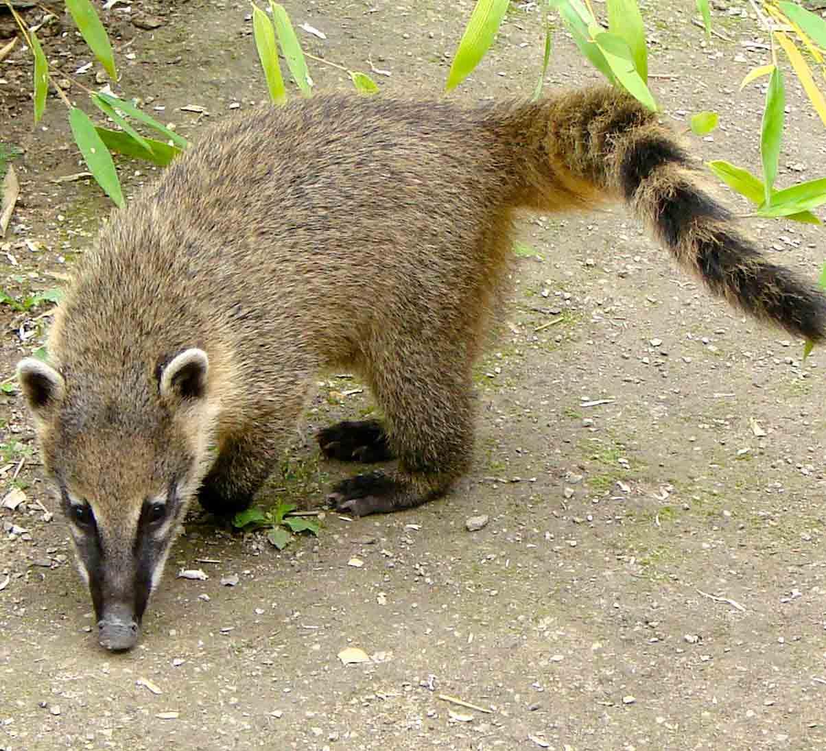 wkudamundi-Panama-racoon-coati